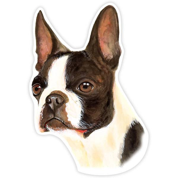 Adesivi per Auto e Moto: Boston Terrier